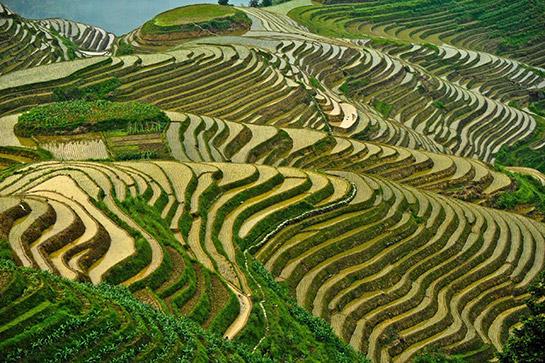 Pirinç Nerede Yetişir Pirincgentr